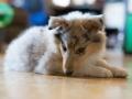 Gaia_Langhaarcollie_Collie_blue_merle_Einzug_neues_Heim_Welpe_Puppy_Junghund_Baby (49)