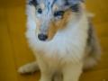 Gaia_Langhaarcollie_Collie_blue_merle_Einzug_neues_Heim_Welpe_Puppy_Junghund_Baby (9)