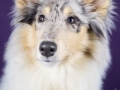 Langhaarcollie_Rough_Collie_bluemerle_welpe_puppy_Gaia_Studioaufnahme_Hundefpotografie (1)