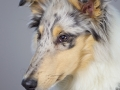 Langhaarcollie_Rough_Collie_bluemerle_welpe_puppy_Gaia_Studioaufnahme_Hundefpotografie (11)