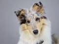 Langhaarcollie_Rough_Collie_bluemerle_welpe_puppy_Gaia_Studioaufnahme_Hundefpotografie (13)