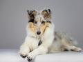 Langhaarcollie_Rough_Collie_bluemerle_welpe_puppy_Gaia_Studioaufnahme_Hundefpotografie (15)
