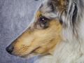Langhaarcollie_Rough_Collie_bluemerle_welpe_puppy_Gaia_Studioaufnahme_Hundefpotografie (17)