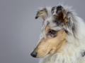 Langhaarcollie_Rough_Collie_bluemerle_welpe_puppy_Gaia_Studioaufnahme_Hundefpotografie (19)