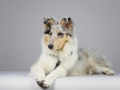 Langhaarcollie_Rough_Collie_bluemerle_welpe_puppy_Gaia_Studioaufnahme_Hundefpotografie (21)