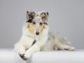 Langhaarcollie_Rough_Collie_bluemerle_welpe_puppy_Gaia_Studioaufnahme_Hundefpotografie (23)
