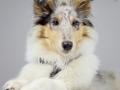 Langhaarcollie_Rough_Collie_bluemerle_welpe_puppy_Gaia_Studioaufnahme_Hundefpotografie (27)