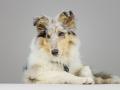 Langhaarcollie_Rough_Collie_bluemerle_welpe_puppy_Gaia_Studioaufnahme_Hundefpotografie (29)