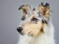 Langhaarcollie_Rough_Collie_bluemerle_welpe_puppy_Gaia_Studioaufnahme_Hundefpotografie (3)