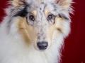 Langhaarcollie_Rough_Collie_bluemerle_welpe_puppy_Gaia_Studioaufnahme_Hundefpotografie (31)