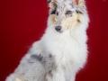 Langhaarcollie_Rough_Collie_bluemerle_welpe_puppy_Gaia_Studioaufnahme_Hundefpotografie (33)