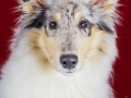 Langhaarcollie_Rough_Collie_bluemerle_welpe_puppy_Gaia_Studioaufnahme_Hundefpotografie (35)