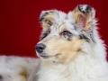 Langhaarcollie_Rough_Collie_bluemerle_welpe_puppy_Gaia_Studioaufnahme_Hundefpotografie (37)