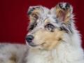 Langhaarcollie_Rough_Collie_bluemerle_welpe_puppy_Gaia_Studioaufnahme_Hundefpotografie (39)