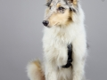 Langhaarcollie_Rough_Collie_bluemerle_welpe_puppy_Gaia_Studioaufnahme_Hundefpotografie (5)