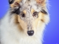 Langhaarcollie_Rough_Collie_bluemerle_welpe_puppy_Gaia_Studioaufnahme_Hundefpotografie (7)