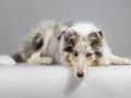 Langhaarcollie_Rough_Collie_bluemerle_welpe_puppy_Gaia_Studioaufnahme_Hundefpotografie (9)