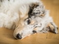 Langhaarcollie_Collie_bluemerle_Baby_Welpe_Puppy_Rough_Marburg_Hessen_Gaia (1)