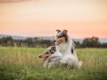 Langhaarcollies_Gaia_Lotte_Happy_Collie_Rough_bluemerle_sable_Hundefreunde_Freunde_Sonnenuntergang (14)