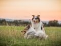 Langhaarcollies_Gaia_Lotte_Happy_Collie_Rough_bluemerle_sable_Hundefreunde_Freunde_Sonnenuntergang (15)