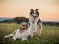 Langhaarcollies_Gaia_Lotte_Happy_Collie_Rough_bluemerle_sable_Hundefreunde_Freunde_Sonnenuntergang (25)