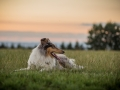 Langhaarcollies_Gaia_Lotte_Happy_Collie_Rough_bluemerle_sable_Hundefreunde_Freunde_Sonnenuntergang (27)
