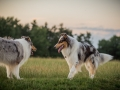 Langhaarcollies_Gaia_Lotte_Happy_Collie_Rough_bluemerle_sable_Hundefreunde_Freunde_Sonnenuntergang (28)