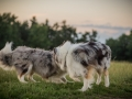 Langhaarcollies_Gaia_Lotte_Happy_Collie_Rough_bluemerle_sable_Hundefreunde_Freunde_Sonnenuntergang (29)