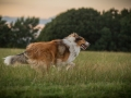 Langhaarcollies_Gaia_Lotte_Happy_Collie_Rough_bluemerle_sable_Hundefreunde_Freunde_Sonnenuntergang (30)