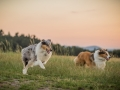 Langhaarcollies_Gaia_Lotte_Happy_Collie_Rough_bluemerle_sable_Hundefreunde_Freunde_Sonnenuntergang (4)