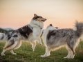 Langhaarcollies_Gaia_Lotte_Happy_Collie_Rough_bluemerle_sable_Hundefreunde_Freunde_Sonnenuntergang (9)