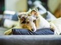 Langharcollie_Rough_Collie_bluemerle_Gaia_Welpe_puppy_Baby_Tierbaby_Hundebaby_Hund_Couch_Sofa_muede (1)