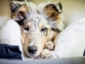 Langharcollie_Rough_Collie_bluemerle_Gaia_Welpe_puppy_Baby_Tierbaby_Hundebaby_Hund_Couch_Sofa_muede (11)