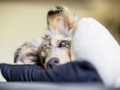 Langharcollie_Rough_Collie_bluemerle_Gaia_Welpe_puppy_Baby_Tierbaby_Hundebaby_Hund_Couch_Sofa_muede (15)