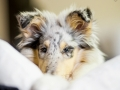 Langharcollie_Rough_Collie_bluemerle_Gaia_Welpe_puppy_Baby_Tierbaby_Hundebaby_Hund_Couch_Sofa_muede (7)