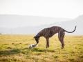 Hundefotografie_Marburg_Tierfotografie_Fotografin_Christine_Hemlep_Hund_Freundschaft_Greyhound_Collie_Welpe (15)