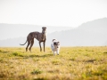 Hundefotografie_Marburg_Tierfotografie_Fotografin_Christine_Hemlep_Hund_Freundschaft_Greyhound_Collie_Welpe (4)