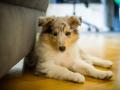 Gaia_Langhaarcollie_Collie_blue_merle_Einzug_neues_Heim_Welpe_Puppy_Junghund_Baby (20)