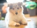 Gaia_Langhaarcollie_Collie_blue_merle_Einzug_neues_Heim_Welpe_Puppy_Junghund_Baby (42)