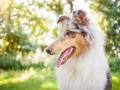 Tierfotografie_Hundefotografie_Marburg_Wetzlar_Giessen_Fotografin_Christine_Hemlep_Hund_Collie_Langhaarcollie_Blue_merle_Gaia (5)