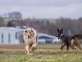 Hundemaedchen_Maggy_Gaia_Gassitreffen_Hundefreunde_Rauschenberg_Marburg_Hunde_Langhaarcollie_Collie (16)