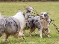 Hundemaedchen_Maggy_Gaia_Gassitreffen_Hundefreunde_Rauschenberg_Marburg_Hunde_Langhaarcollie_Collie (41)
