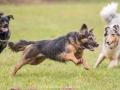 Hundemaedchen_Maggy_Gaia_Gassitreffen_Hundefreunde_Rauschenberg_Marburg_Hunde_Langhaarcollie_Collie (65)