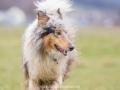 Hundemaedchen_Maggy_Gaia_Gassitreffen_Hundefreunde_Rauschenberg_Marburg_Hunde_Langhaarcollie_Collie (9)