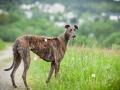 Hundetreffen_Marurg_Greyhound_Dobermann_Langhaarcollie_Border_Collie_Mischling_Gaia_Maggy_HemlepFotografie_treffen (1)