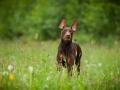 Hundetreffen_Marurg_Greyhound_Dobermann_Langhaarcollie_Border_Collie_Mischling_Gaia_Maggy_HemlepFotografie_treffen (48)