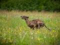 Hundetreffen_Marurg_Greyhound_Dobermann_Langhaarcollie_Border_Collie_Mischling_Gaia_Maggy_HemlepFotografie_treffen (5)