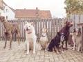 Hundegeburtstag_Bella_Windhund_Mischling_Greyhound_Basima_Akita_Dhara_Dobermann_Spencer_Maggy_Border_Collie_Gaia_Langhaarcollie_Marburg_Coelbe (47)