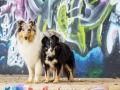 Border_Collie_Mischling_Maggy_tricolor_Langhaarocollie_Rough_Collie_Gaia_bluemerle_Marburg_Grafitti_Bunt_Stadt (1)
