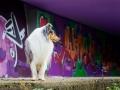 Langhaarcollie_Rough_Collie_Gaia_bluemerle_Marburg_Grafitti_wand_Bunt_Stadthund_Stadt (1)
